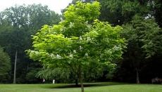 Тернопільські фахівці з благоустрою та екології: «Санітарна обрізка омолоджує дерева»